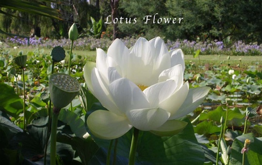 The lotus flowers history and symbolism the uses of the lotus are numerous as people use the dried seeds for decoration while the flowers seeds young leaves and roots are edible and prepared mightylinksfo